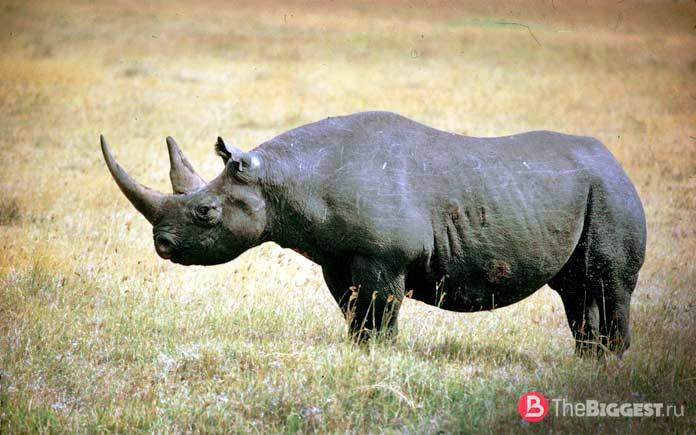 Камерунский черный носорог