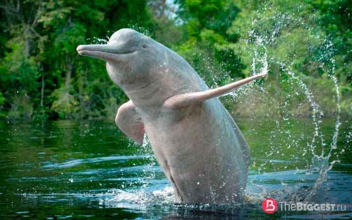 Речной дельфин