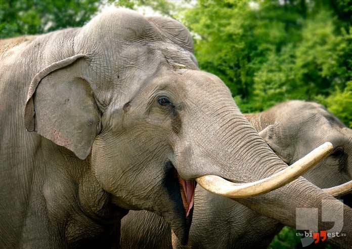 Индийский слон. CC0