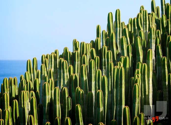Крепостная стена из кактусов. CC0