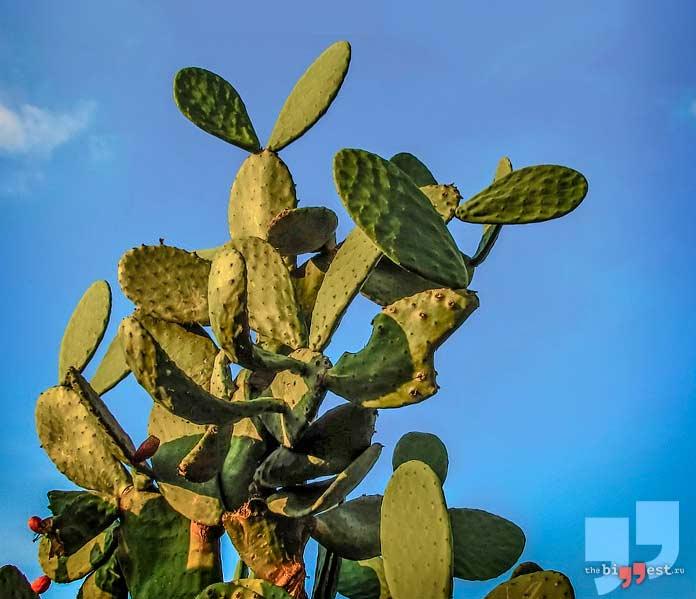 Самые большие кактусы. CC0