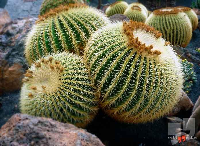 Шарообразные кактусы не редкость. cC0
