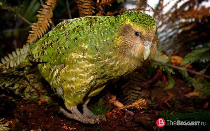 Попугай какапо