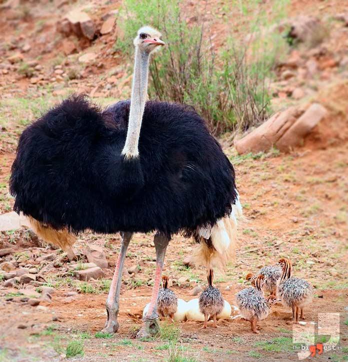 Африканский страус. CC0
