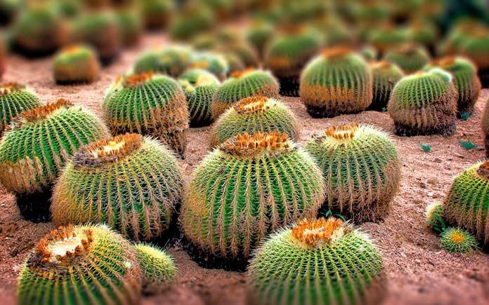 Самые маленькие кактусы в мире