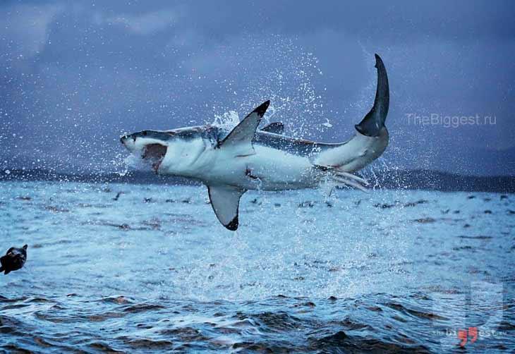 Большая белая акула. CC0