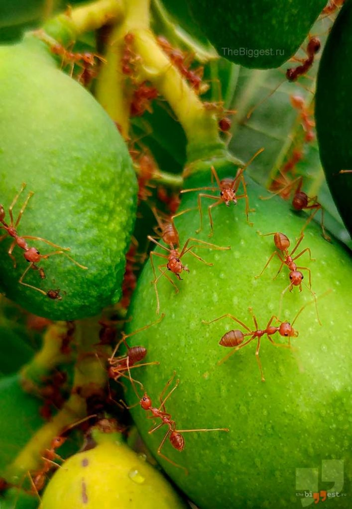 Огненные муравьи. CC0