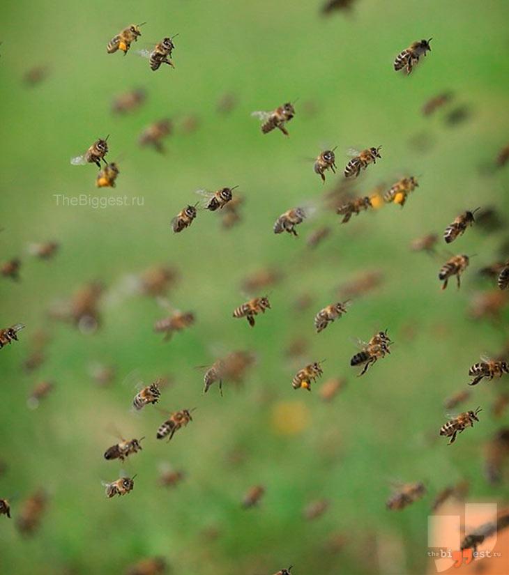 Пчелы. CC0