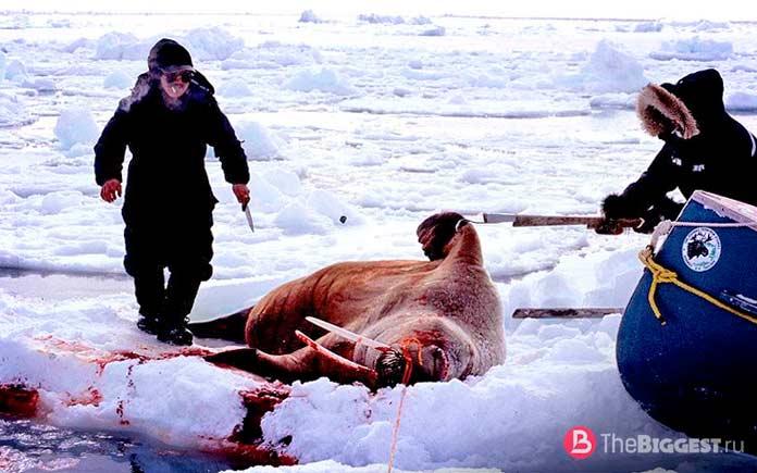 Охота в Арктике
