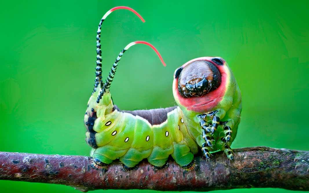 Бабочка с рогами на хвосте