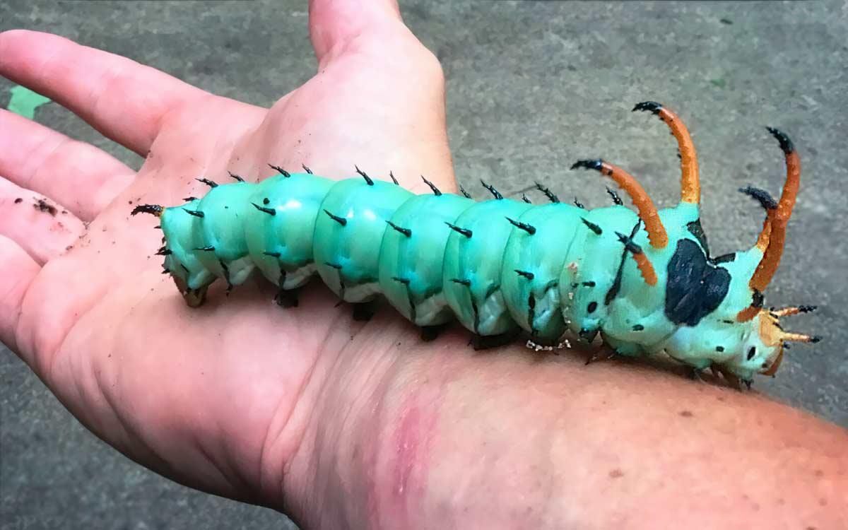 Огромная рогатая гусеница