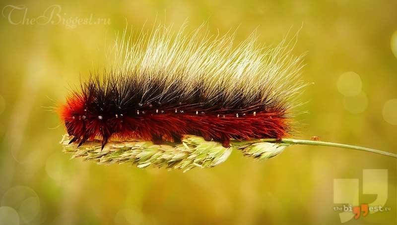 волосатая гусеница. CC0