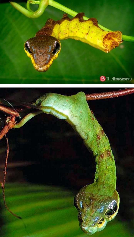 Гусеница-змея