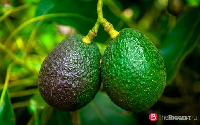 Опасные свойства Авокадо