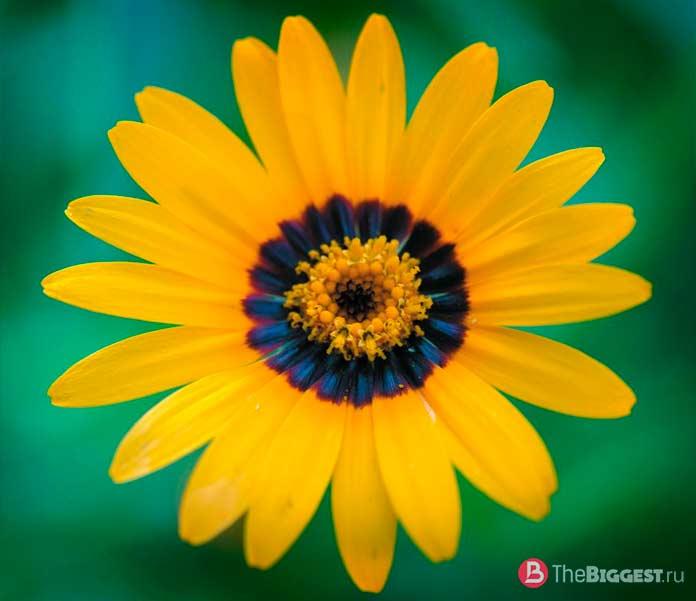 Синий ореол у цветов