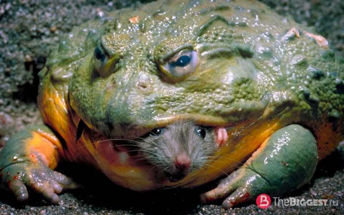 Жаба ест мышь