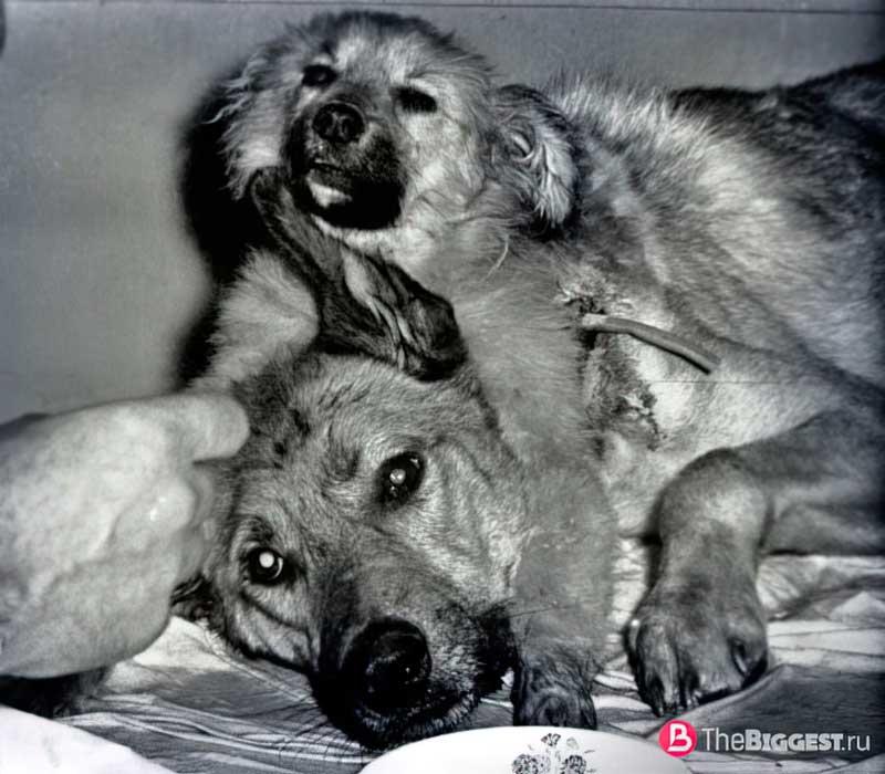 2-головая собака