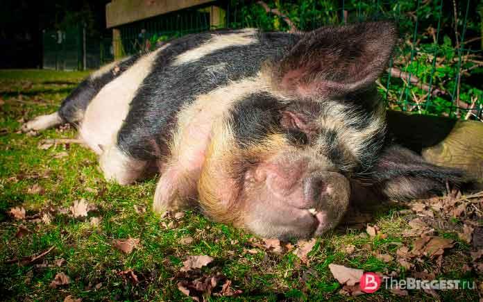Выбросить последнюю свинью