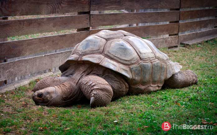 Гигантская черепаха / Aldabrachelys gigantea