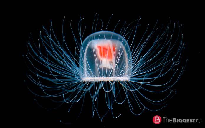 Медуза Turritopsis