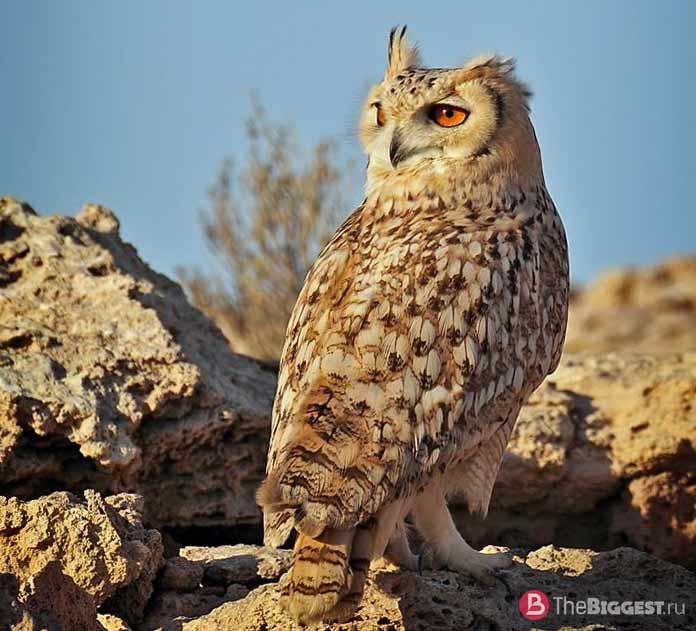 Пустынный филин / Bubo ascalaphus