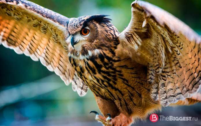 Самые крупные совы мира