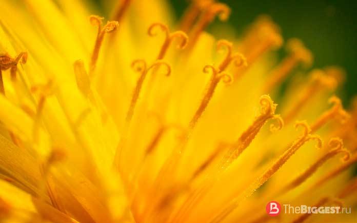 10 интересных фактов о пыльце