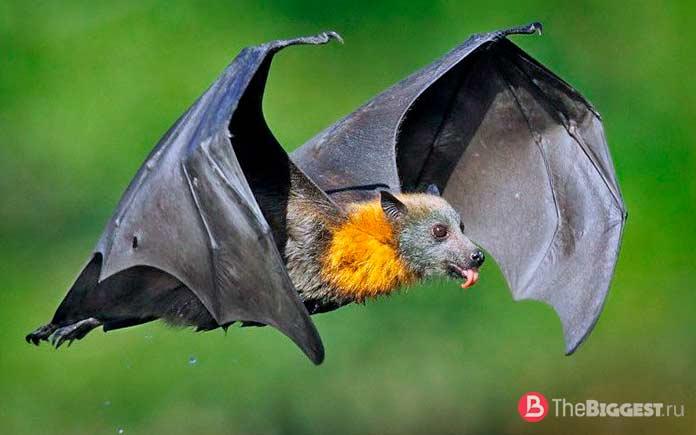 Самые большие летучие мыши в мире