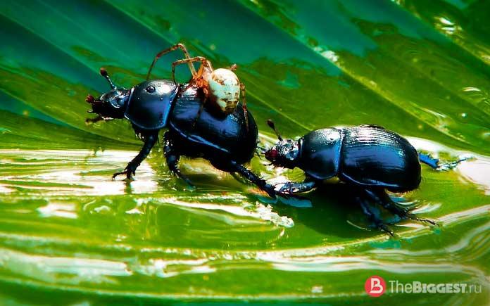 Самые большие жуки: Большие жуки