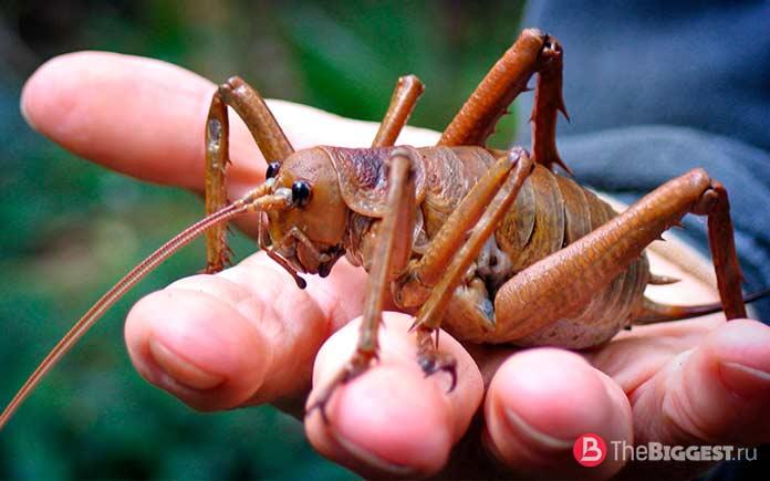 Самые большие жуки: Гигантский уэта