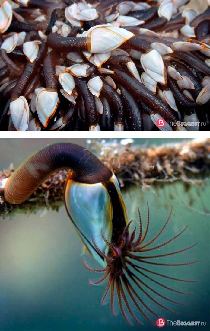 Морские уточки