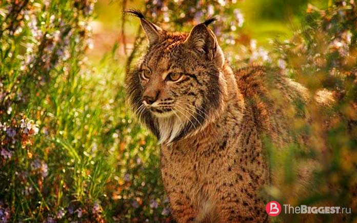 Пиренейская рысь