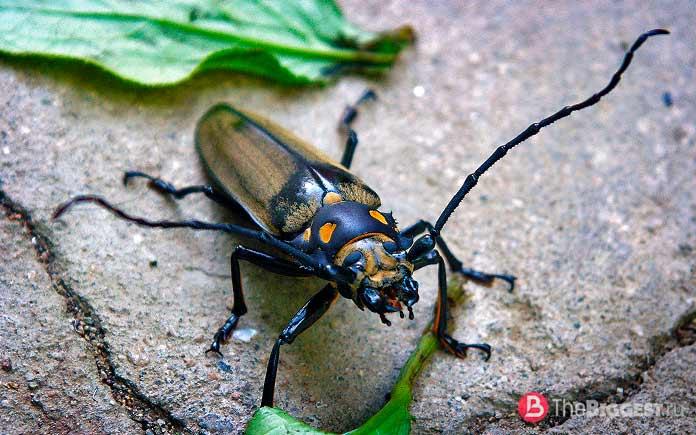 Самые большие жуки: Уссурийский реликтовый усач