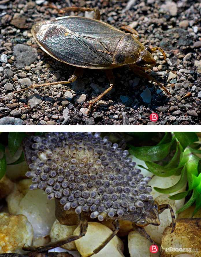 Самые большие жуки: Водяной клоп