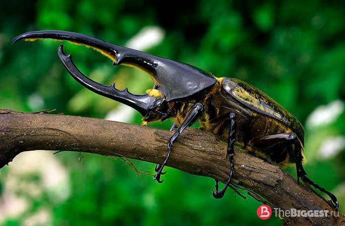 Самые большие жуки: Жук-геркулес