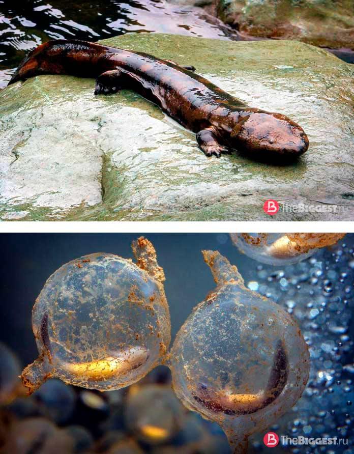 Яйцо саламандры