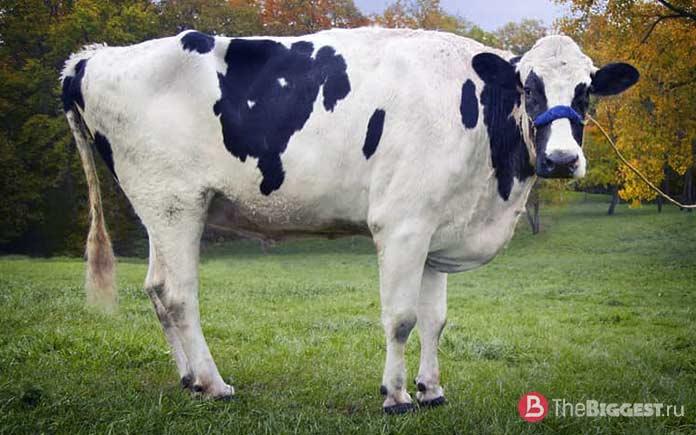 Самые большие коровы: Блоссом