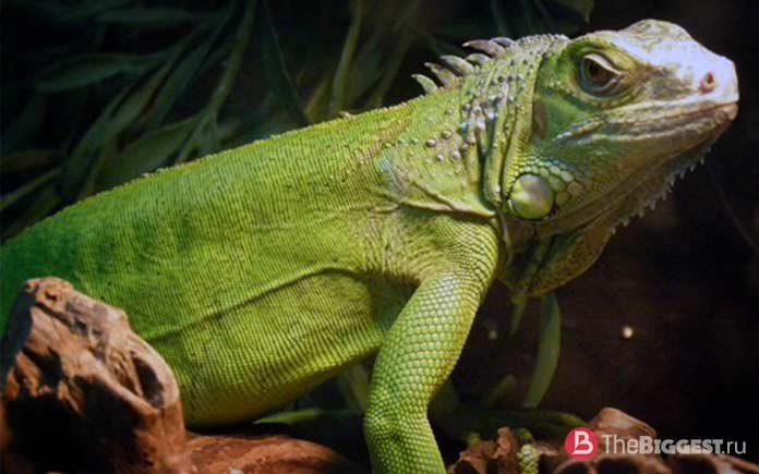 Iguana Kinolof