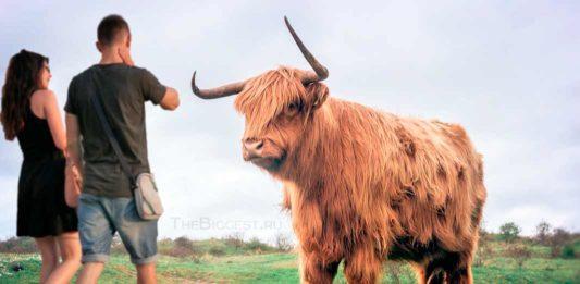Коровы