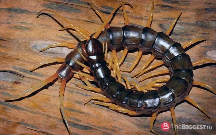 Самые большие сколопендры: Scolopendra cataracta