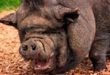 Свиньи (CC0)