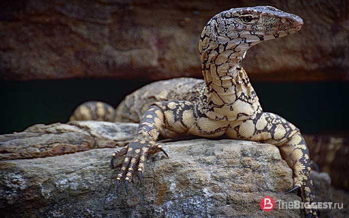 Самые большие ящерицы: Varanus giganteus