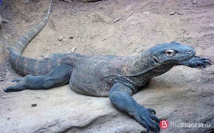 Самые большие ящерицы: Varanus komodoensis