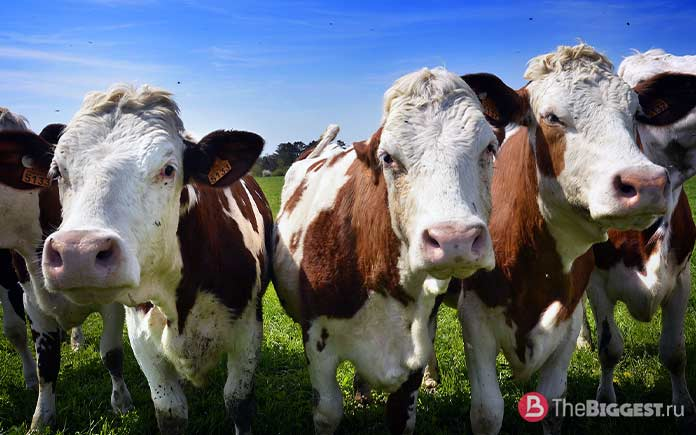 самые большие коровы в мире