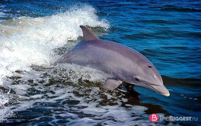 Лучшие ныряльщики среди животных: Афалина. СС0