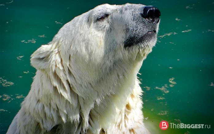 Лучшие ныряльщики среди животных: Белый медведь. СС0