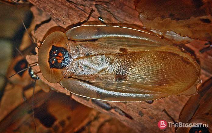 Самые большие тараканы: Blaberus giganteus. CC0