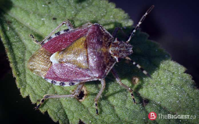 Dolycoris baccarum. CC0