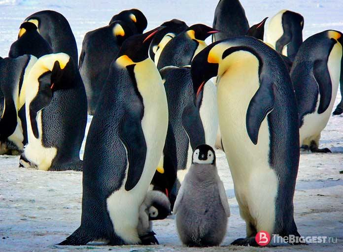 Императорский пингвин. СС0