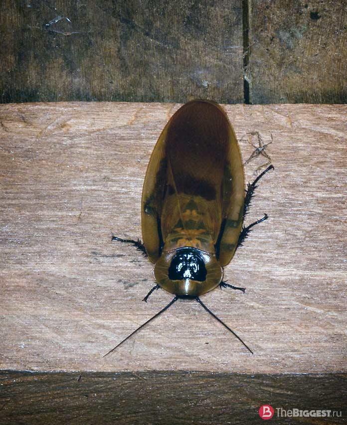 Самые большие тараканы: Megaloblatta longipennis